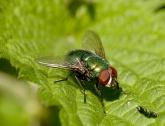 Groene vleesvlieg