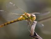 Steenrode heidelibel in de tuin