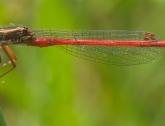Koraaljuffer (Ceriagrion tenellum)