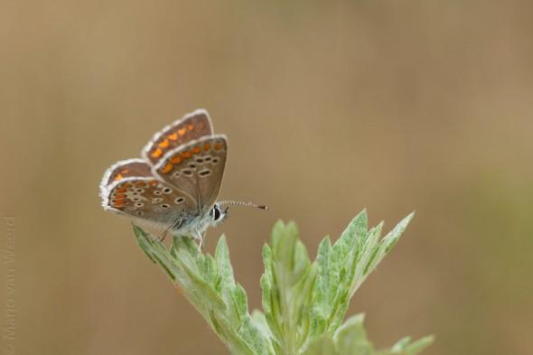 Bruin blauwtje (Aricia agestis) in Wekerom
