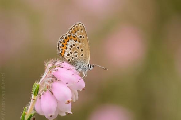 Heideblauwtje in het Boetelerveld