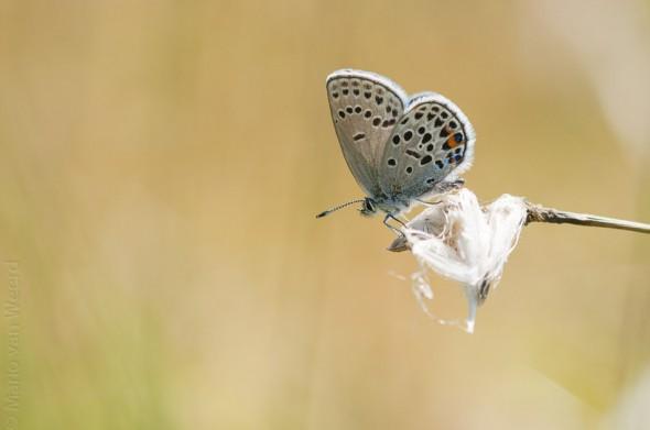 Veenbesblauwtje (Plebejus Optilete)