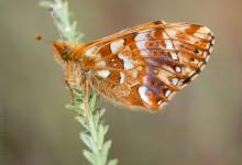 Juni 2015, nieuwe vlinders