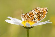 Juni 2016, nieuwe vlinders in de eifel
