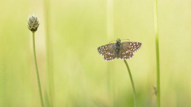 Aardbeivlinder in de lente